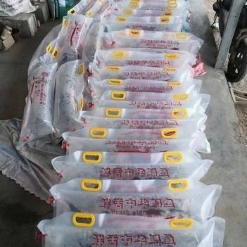 西伯利亚杂交鲟 自家渔场养殖,常年批发1.3---2斤的中华鲟