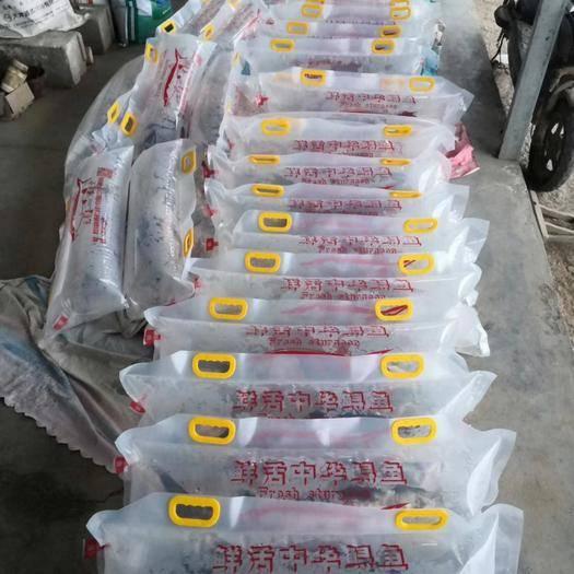 山东省潍坊市临朐县西伯利亚杂交鲟 自家渔场养殖,常年批发1.3---2斤的中华鲟