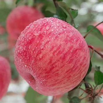 正宗吉縣紅富士蘋果