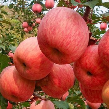 【壞果包賠】蘋果紅富士脆甜丑蘋果新鮮應季水果包郵