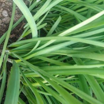 大叶韭菜 温室大棚种植