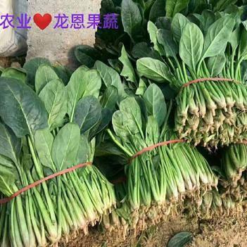【旭宝农业??龙恩果蔬】??沙土地??大叶菠菜25-35