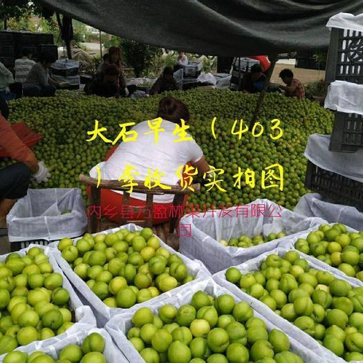 河南省南阳市内乡县 早熟李子403大量上市。。。