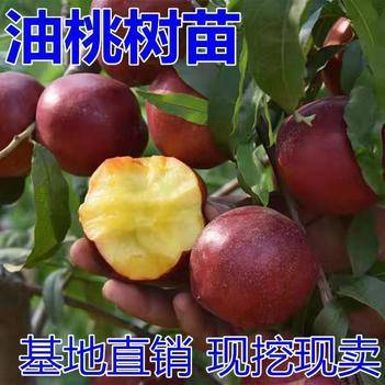 油桃苗,南北方適宜種植,基地直銷三包發貨