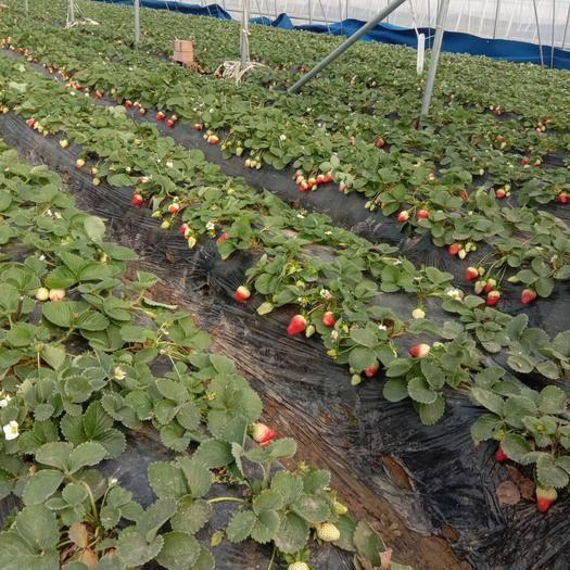 河南省郑州市中牟县甜查理草莓 大量上货!甜查理!不支持送货