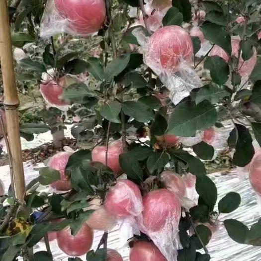 山西省運城市臨猗縣 冰糖心紅富士蘋果80cm以上冷庫貨