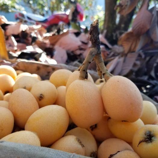 四川省攀枝花市仁和区 枇杷米易高山枇杷新鲜水果