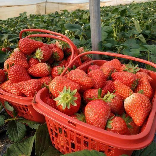 遼寧省丹東市東港市 丹東九九草莓 奶油口味 5斤順風包郵