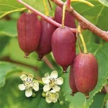 軟棗獼猴桃苗 紅色九月軟棗獼猴桃
