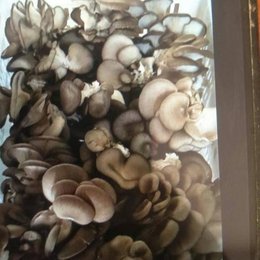 山东省德州市武城县蘑菇 自家种的,无公害,无残留