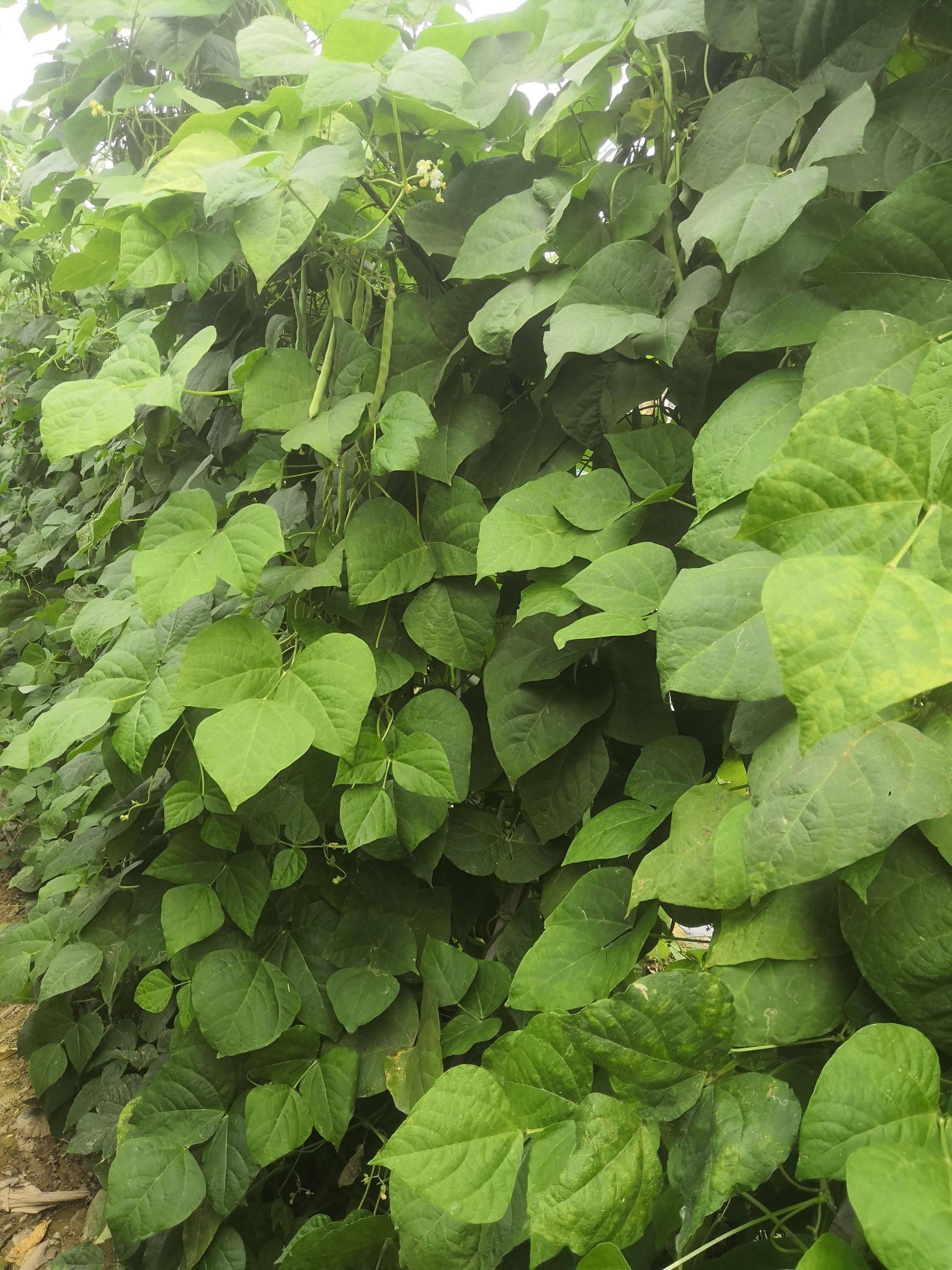 [四季豆批发]云南四季豆,金豆3斤5斤10斤可批发量大优惠价格19.8元/箱