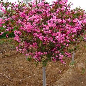 绿化高杆海棠树苗 长寿果 西府海棠 多多品种绿化园林