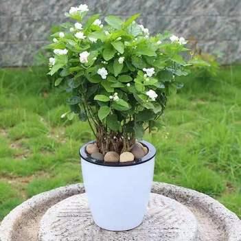 茉莉花苗 四季苿莉花苗 茉莉花盆栽 根系旺盛易成活 基地直发