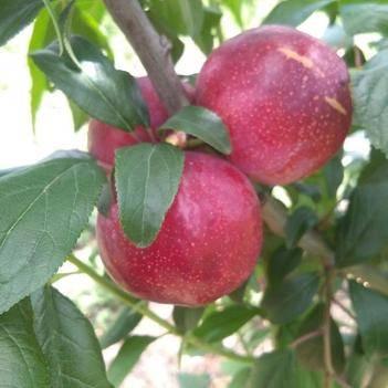 红布林 红布兰,又名苹果李