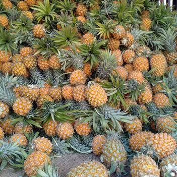 云南河口菠萝批发新鲜甜脆一手货源