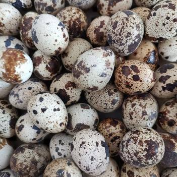 白沙維種蛋 白沙維受精孵化種蛋