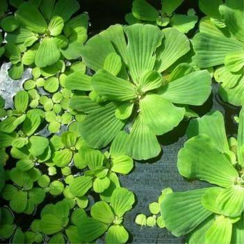 水芙蓉水葫芦大薸浮水培四季淡水鱼池鱼塘池塘净化水质的水草