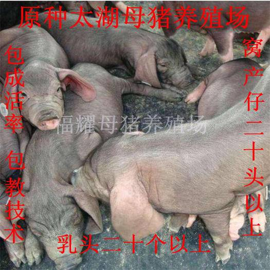 江蘇省宿遷市宿豫區太湖豬苗 原種太湖母豬,高產母豬,保證成活率,支持全國發貨。