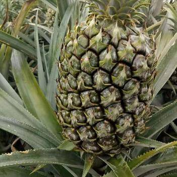 大量现货菠萝