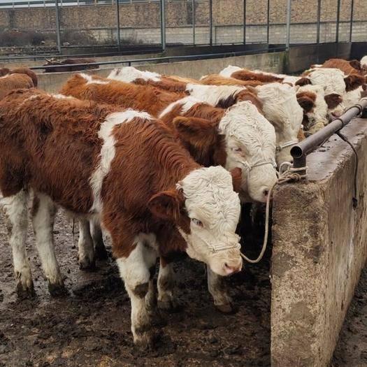 貴州省畢節市威寧彝族回族苗族自治縣 全是高山散養的,土黃牛,西門塔爾牛,抗病力強。