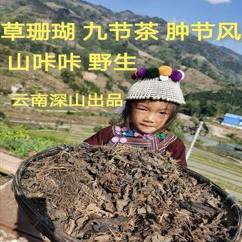 草珊瑚肿节风九节风九节茶