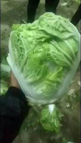 河南省開封市通許縣 精品黃心大白菜大量上市,鮮貨  無燒心  無病蟲害。歡迎訂購