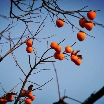 秦嶺大巴山自然晾干柿餅