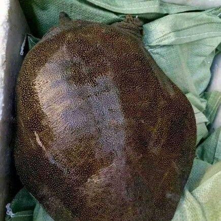 江西省撫州市南豐縣 專注9年以上生態老甲魚,不老包賠包退!