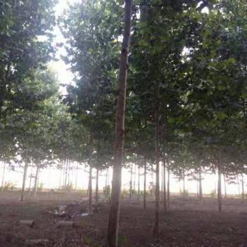 法国桐树 出售法桐树,15-22公分都有,价格可谈