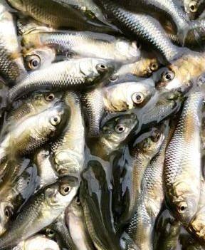 出售鯽魚苗 各種規格 品種多樣 購買價優