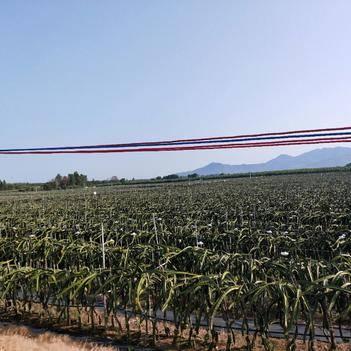 海南东方火龙果种植基地