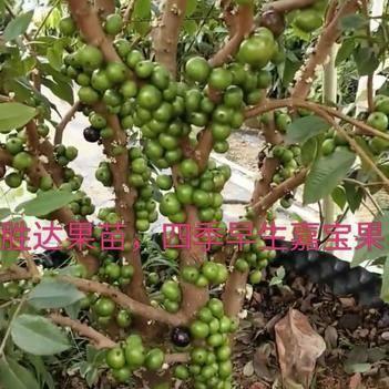 樹葡萄,四季早生嘉寶果苗