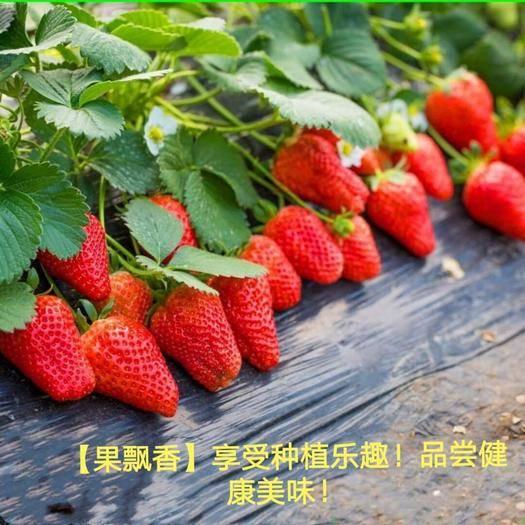 山东省临沂市平邑县 美十三草莓,大量供应,