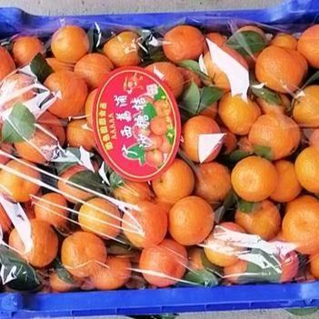 沙糖桔 正宗沙糖桔三年樹頭年掛果 中大果花皮少 甜度夠 化渣度高