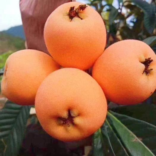 四川省凉山彝族自治州德昌县 2020春季套袋五星枇杷德昌高山枇杷新鲜水果