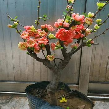 重瓣海棠花盆栽树苗盆景老桩花卉绿植物室内四季开花不断庭院包邮
