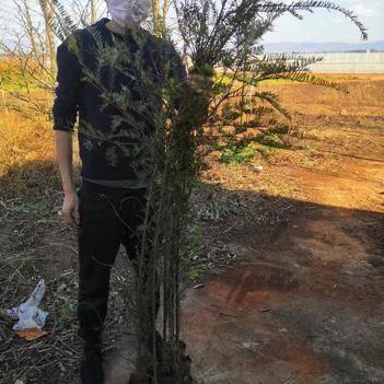 地径1至2公分红豆杉