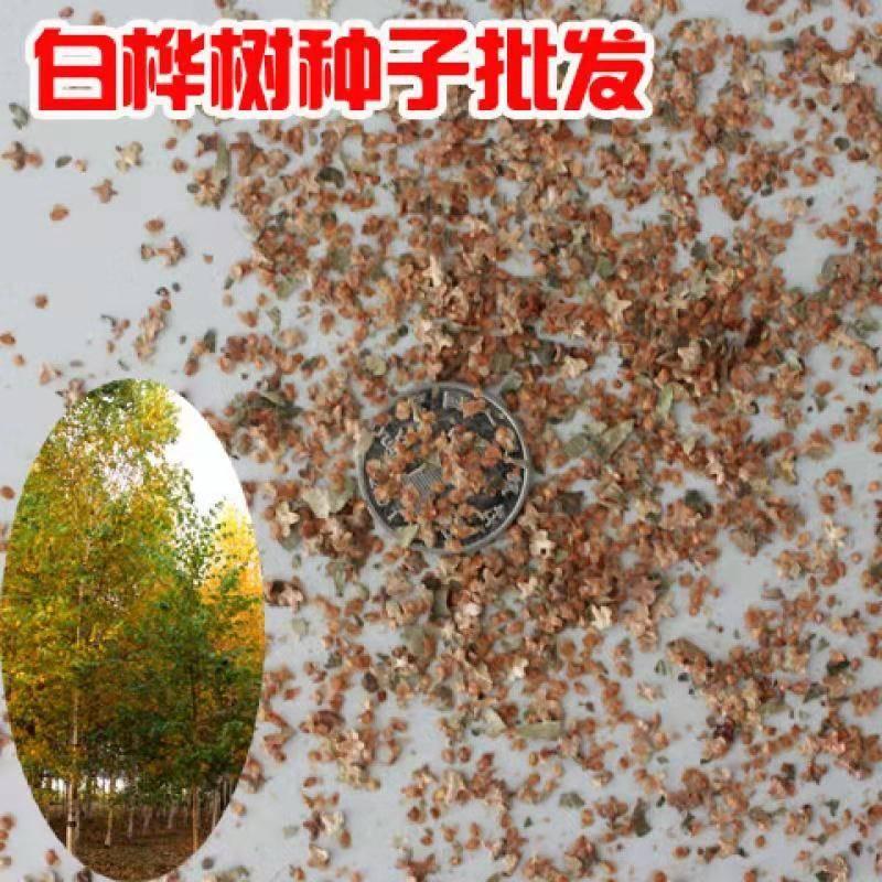 [白桦种子批发]白桦种子 新采白桦树种子 白桦 粉桦 桦皮树种籽 园林绿化行道树种子价格9.8元/包