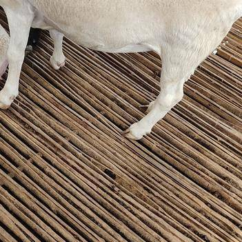 澳洲白绵羊 30斤以下