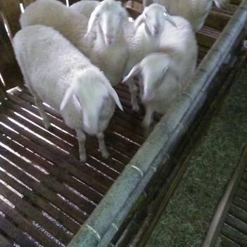 肉羊种母羊