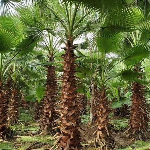 四川省泸州市龙马潭区 供应2-6米杆高老人葵