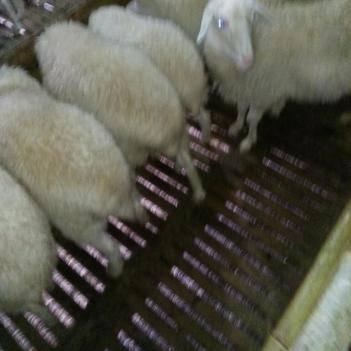肉羊及种母羊
