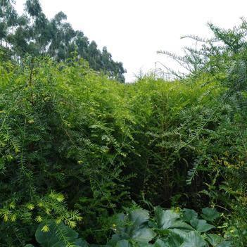 南方红豆杉,量大,预购从速