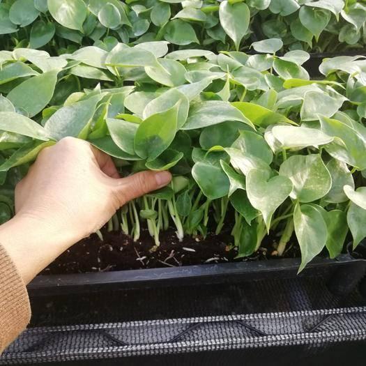 廣東省廣州市番禺區 龜背竹苗,盆栽切葉均可,基地直銷