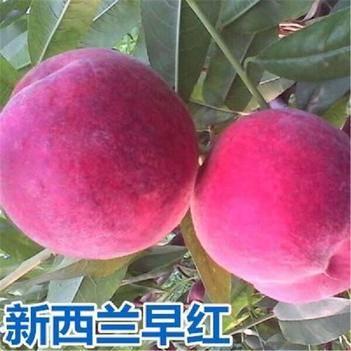 蜜桃苗 新西蘭早紅桃苗現挖現發基地直銷品種保證量大從優當年結果苗