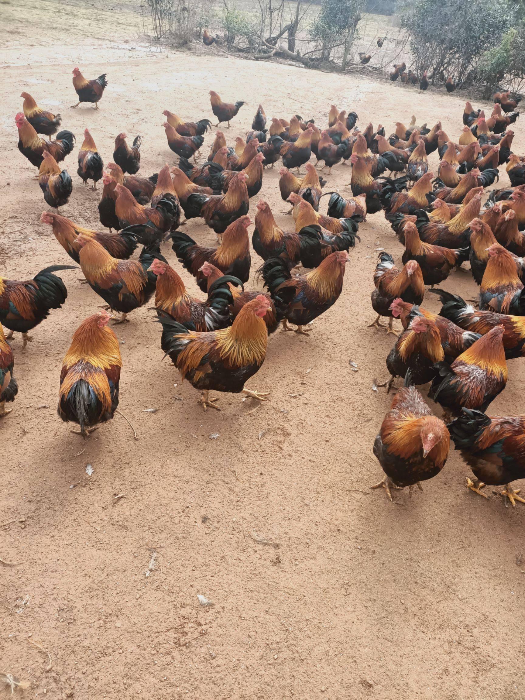 松树林全年大量养殖阉鸡,鸡肥肉嫩!月份可选,欢迎采购商选购图片