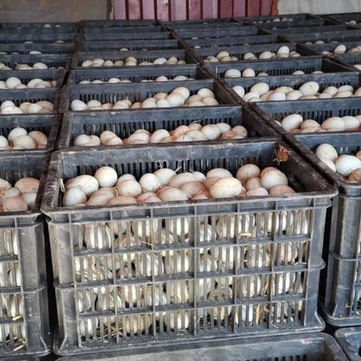 山東省德州市臨邑縣 常年出售各種規格綠殼鴨蛋