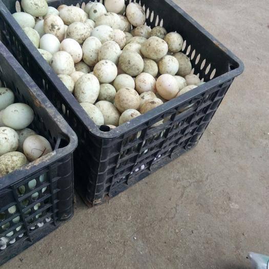 江西省宜春市高安市金定鴨蛋 孵化 箱裝