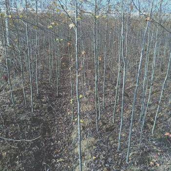 枫香苗 大量供应枫香小苗、1公分枫香、3公分枫香、5公分枫香大小规格