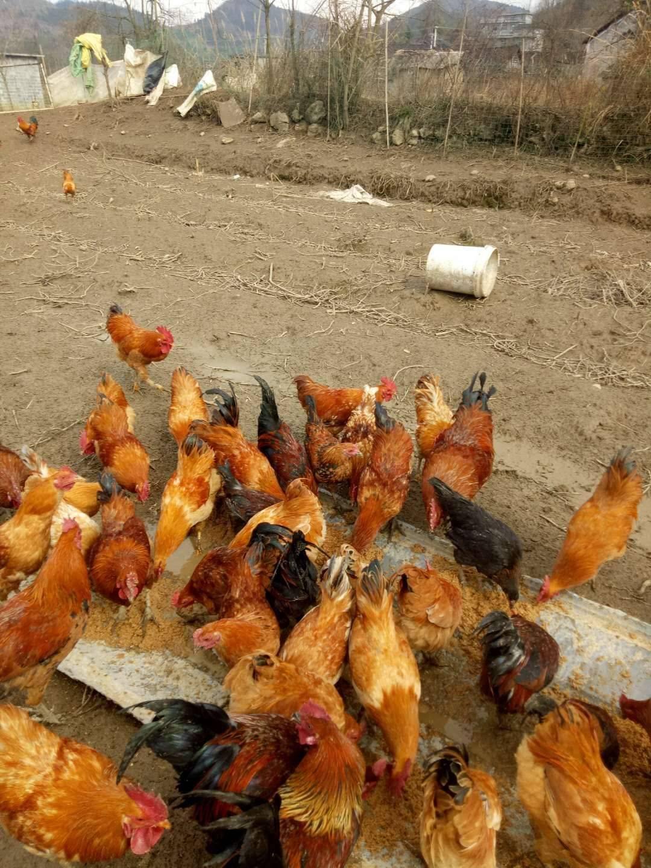 [土鸡批发] 乡里土鸡,自家散养,喂玉米,喂稻谷,品相好。口味好价格29元/斤